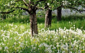 2018Nature___Seasons___Spring_White_dandelions_in_green_grass_in_a_blooming_garden_in_spring_123699_