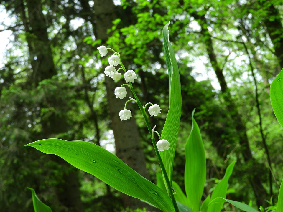 Forest Spring Lily Of The Valley Drop Of Water