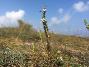 цветок на дюне