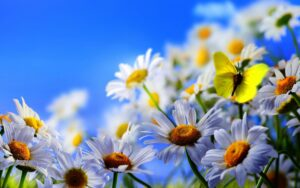 1920x1200-px-butterfly-daisies-flowers-1709655