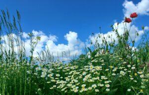 lug-tsvety-romashki-maki-trava-nebo-oblaka